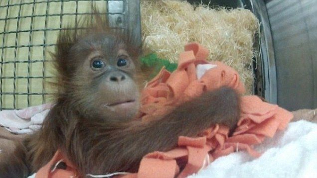 Orphan orangutan at Monkey World in Dorset just wants a Mummy | Daily Mail Online
