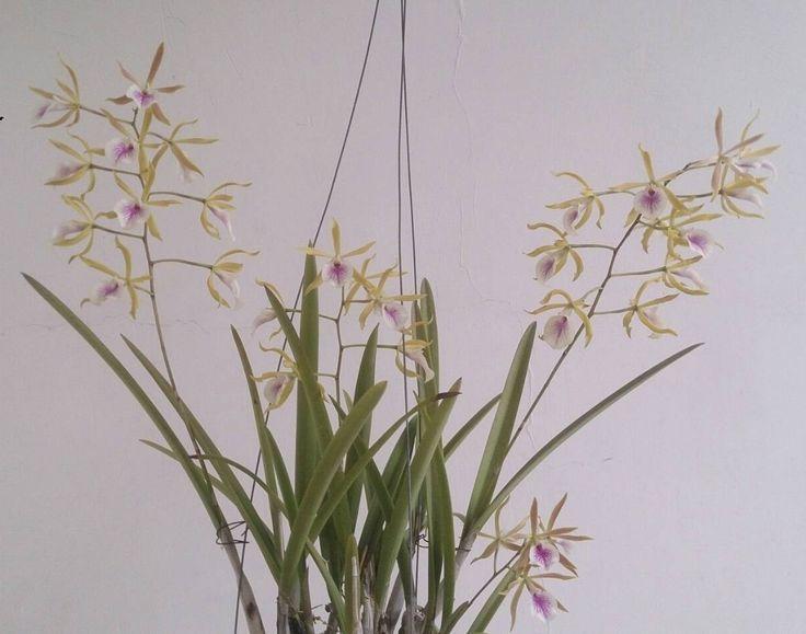 Love this Brassoepidendrum Paradise Garden