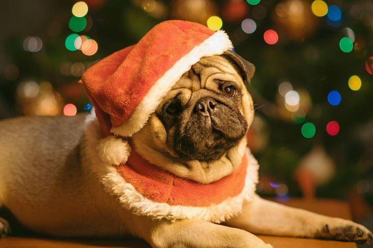 HO HO HO Merry Christmas!!!  #mauricethepug #iulianmarcu #christmas #merrychristmas #santa #santaclaus #moscraciun #craciun #christmaslights #romania #tirgumures #puglife #pugchat #pugstory #pug #mops #dog #puppy