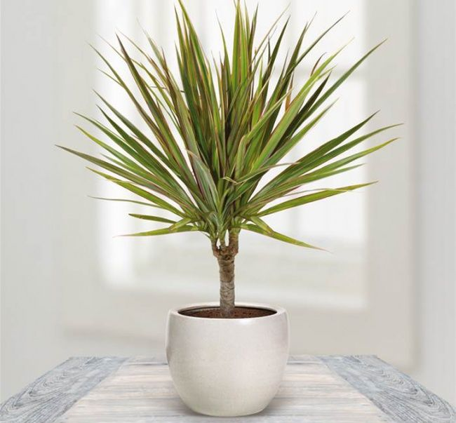 12 houseplants that can survive even the darkest corner ... Dragon tree - It's your personal piece of the tropics in your office. It doesn't like direct sunlight, so keep the plant away from it.