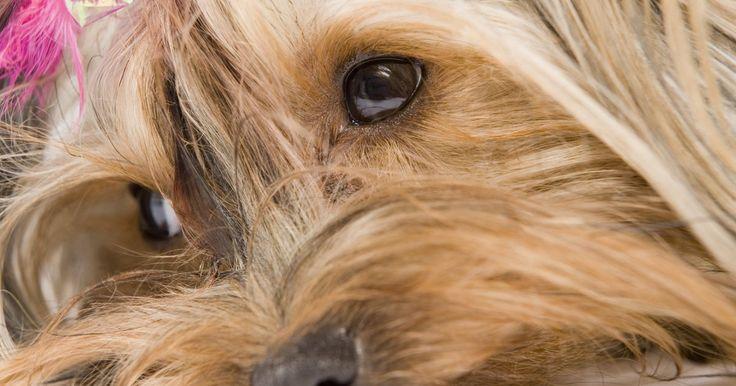 Cómo cuidar el pelo alrededor de los ojos de un perro Yorkie