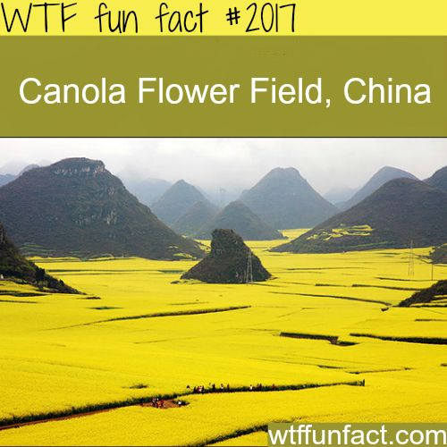 Canola Flower Field, China -WTF fun facts