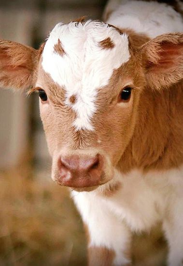 I love baby cows... They are adorable! I mean how can you ignore that adorableness? (: <3