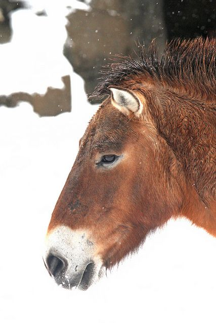 Does a zoo near you have a population of Przewalski's Horses?