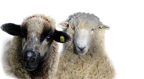How to Skirt a Fleece | Peeper Hollow Farm | Marion Iowa