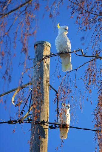 Sulphur-crested cockatoos – Canberra - Australia
