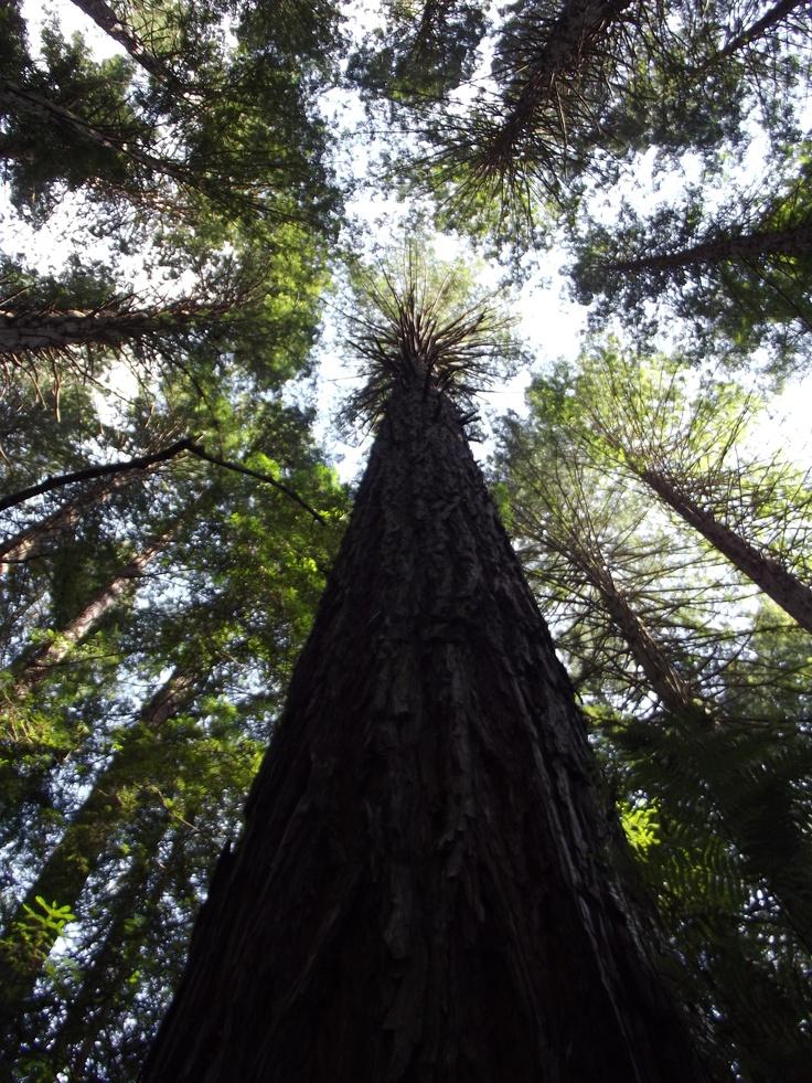 Trees in Redwood Forest, Rotarua, New Zealand www.jamierockers.com