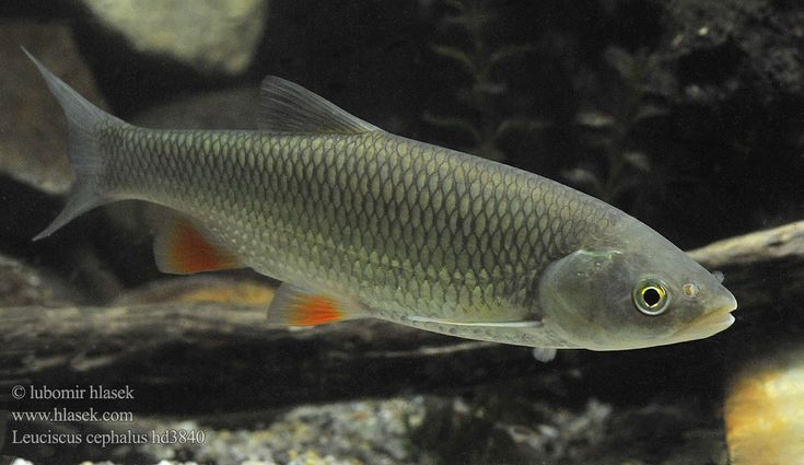 146 best danios minnows images on pinterest fish for Freshwater dolphin fish