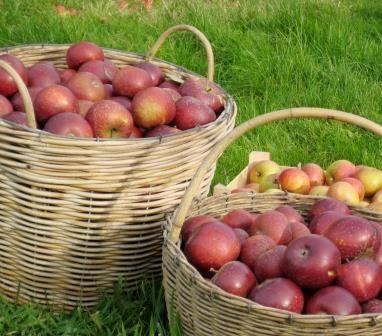 Apples - www.aeblegaarden.dk Photo by Sannie Terese Burén