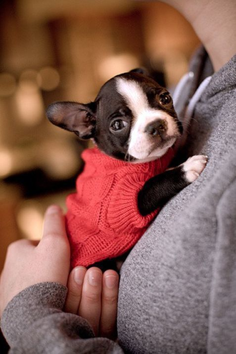 Adorable Boston Terrier puppy in a red sweater.