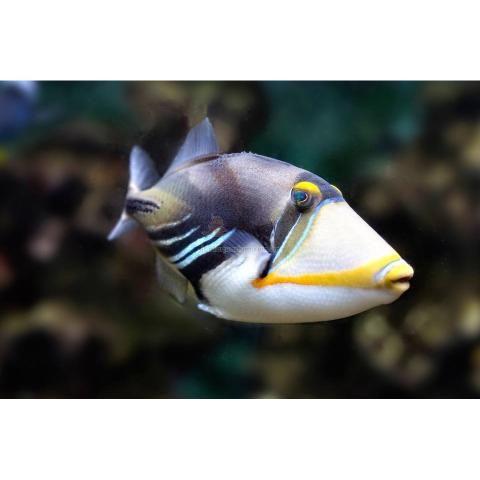 Triggerfish PICASSO / HUMU-HUMU (Rhinecanthus aculeatus )  O Triggerfish Humu-humu também conhecido como triggerfish Picasso tem uma aparência  que lembra uma pintara maluca ou arte Cubista com a do pintor Pablo Picasso. Eles tem corpo em tons de beje ou creme mais escuro