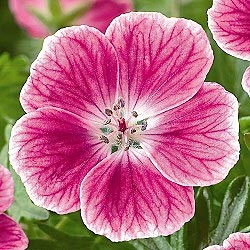 Elke Everblooming Geranium  Charming pink blooms and red autumn foliage provide an inviting ground cover throughout the seasons. Withstands the worst summer heat and is more tolerant of cold and drought than other hardy geraniums. Geranium sanguineum
