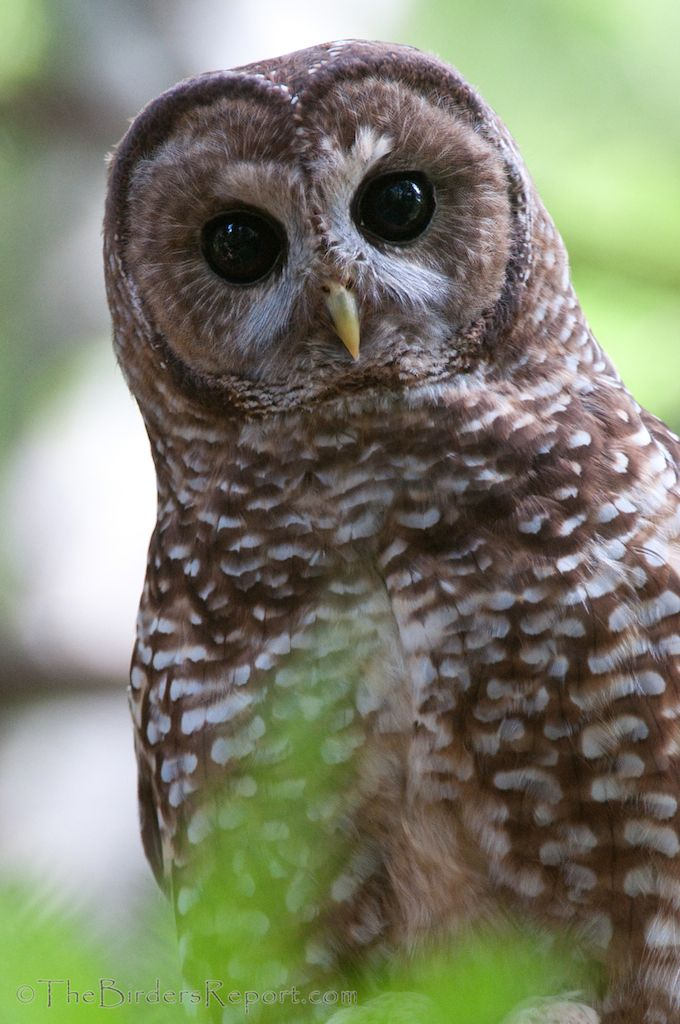 The Northern Spotted Owl: One of the Most Studied Owls in the World » Focusing on Wildlife
