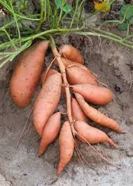 How to Grow the Best Sweet Potatoes3 #containergardening