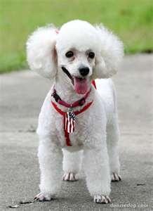 adorable poodlePoodles Cor-De-Rosa, Poodles Toys, Dogs Dogs, Fabulous Poodles, Poodles Wallp, Adorable Poodles, Poodles Puppies, Poodles Dogs, Poodles Passion
