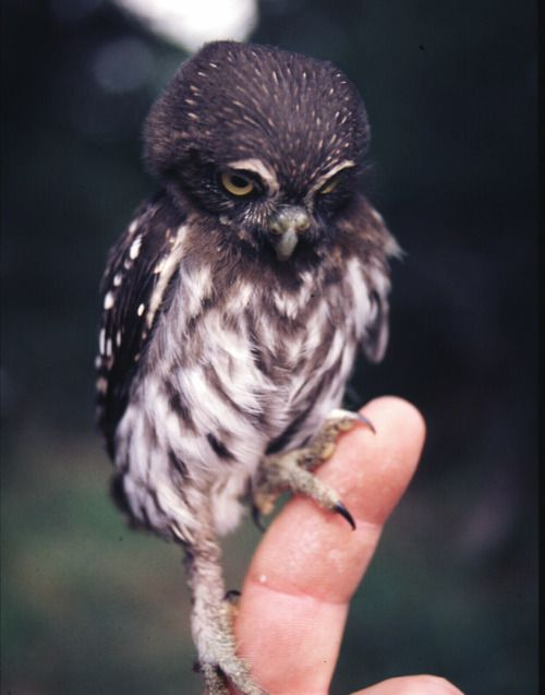 –Tiny owl on a finger perch.