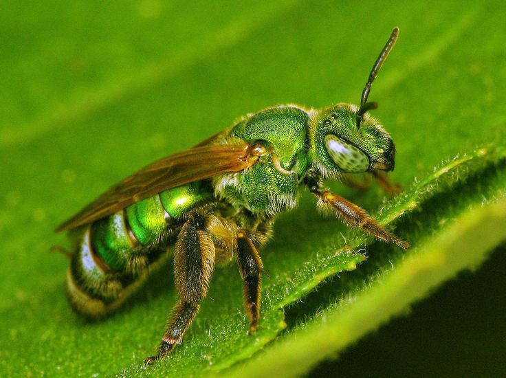 cool How to Get Rid of Sweat Bees - Be Friendly but Persistent  (2017) Check more at https://cozzy.org/how-to-get-rid-of-sweat-bees/