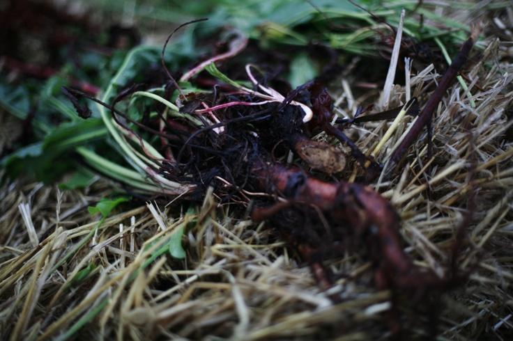 Beets at Mad Foodcamp/ Refshaleøen 2011