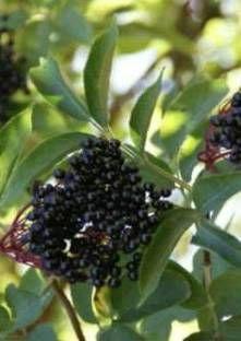 Lavez et égrennez les ombelles de sureau noir. Mettez les fruits dans le bol avec 1 petit go...