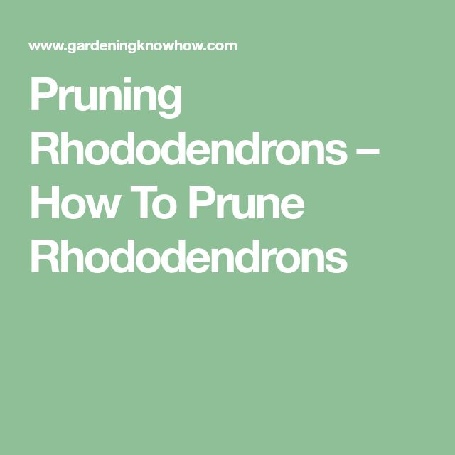 Pruning Rhododendrons – How To Prune Rhododendrons