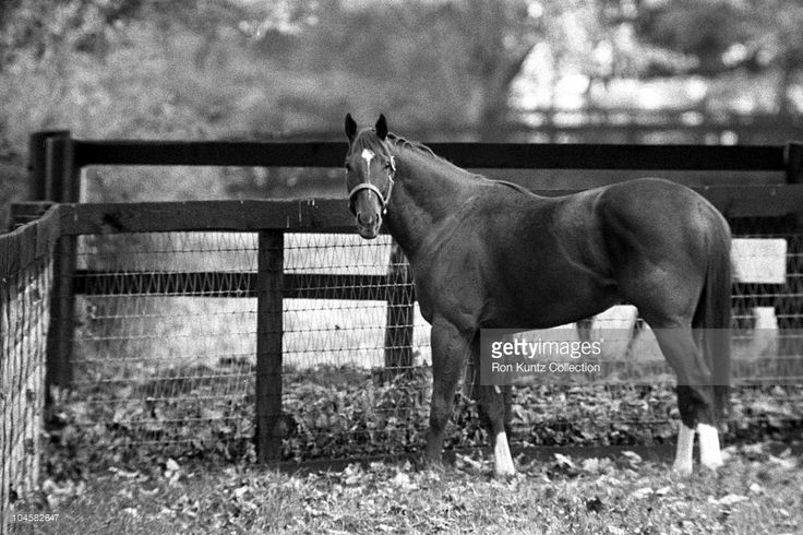Secretariat appears to be enjoying retirement from racing on November 14, 1973 at Claiborne Farms in Paris, Kentucky. Secretariat won the horse racing Triple Crown (Kentucky Derby, Preakness Stakes, Belmont Stakes) in 1973 and set a track record of 1:59 2/5 for the 1 1/4 mile Kentucky Derby. Secretariat also ran each quarter mile of the Kentucky Derby faster than the previous one, meaning he was still accelerating as he finished.