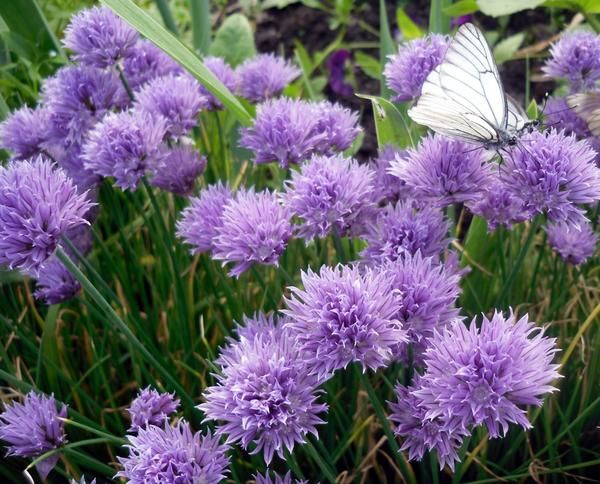 Цветы шнитт-лука