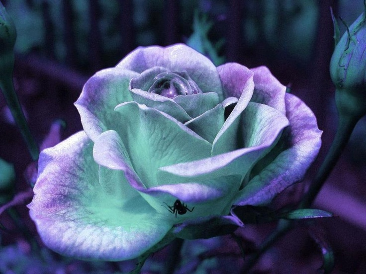 Purple/teal Roses