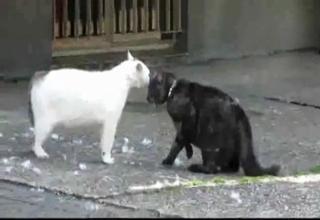 Dash-Cam Catches Cat Fight - Video