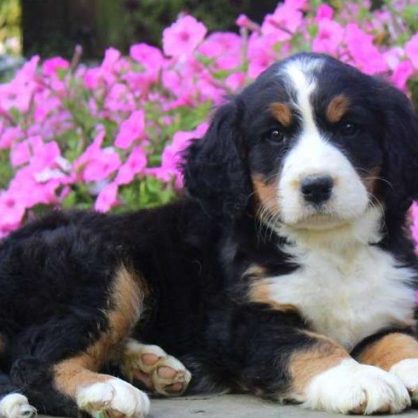 Bernese Springer Spaniel Puppies For Sale Greenfield Puppies Spaniel Puppies For Sale Springer Spaniel Puppies Spaniel Puppies
