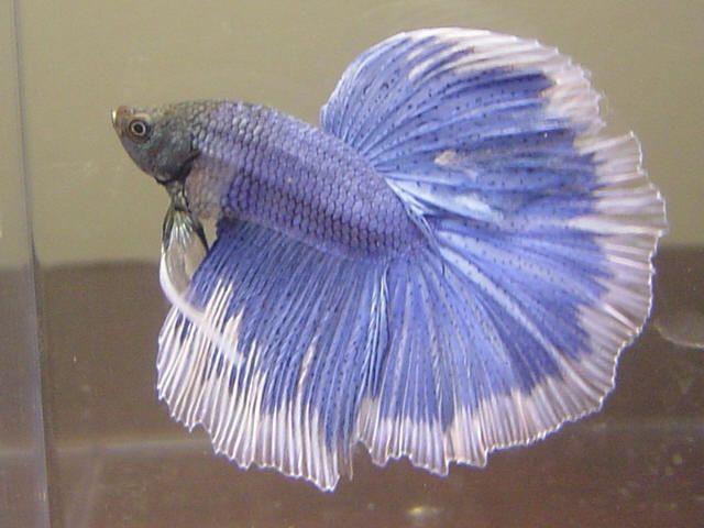 Rare betta fish aquarium lore betta siamese fighting for Betta fighting fish