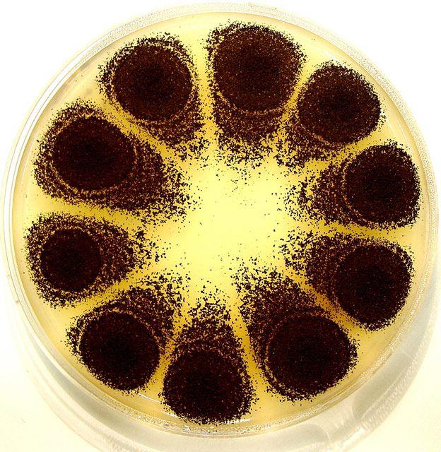 Single-spore inoculation of the microfungus, Aspergillus niger on malt extract agar