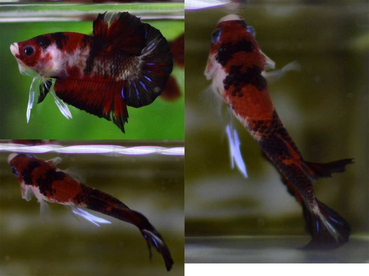 17 best images about koi bettas on pinterest mars red for Male koi fish