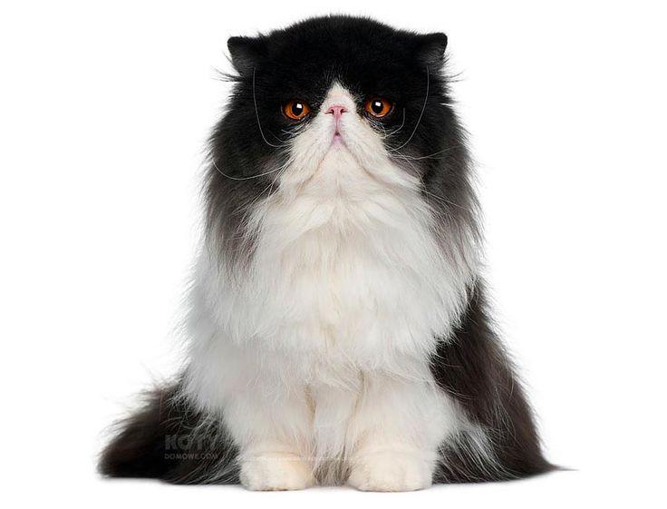 Kot Perski Bikolor – Różne źródła opisywały wspaniałe koty perskie o wielu kolorach sierści...