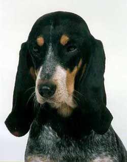 Luzerner Laufhund / Lucerne Hound #Scenthound #Puppy #Dogs Schwyz Hound / Schweizer Laufhund Hunting Dog
