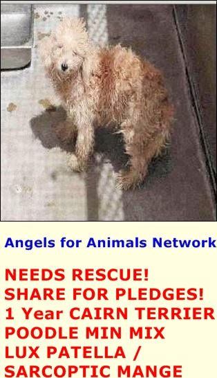 NEEDS RESCUE! SHARE FOR PLEDGES! A1389423 F 1 Year TAN CAIRN TERRIER POODLE MIN 5/19/2015 LUX PATELLA / SARCOPTIC MANGE OC Animal Care. 561 The City Drive South, Orange, CA. 92868 Telephone: 714.935.6848 https://www.facebook.com/AngelsForAnimals.AFA/photos/pb.315830505222.-2207520000.1432323915./10155549646865223/?type=3&theater
