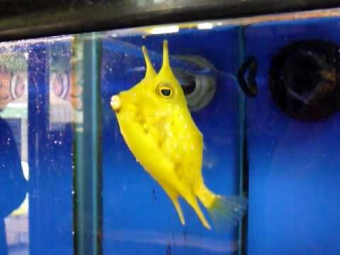 billy the longhorn cowfish