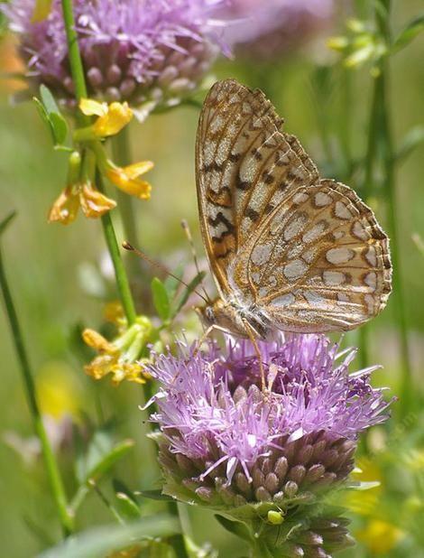 A Callippe Fritillary Butterfly Speyeria Callippe On A