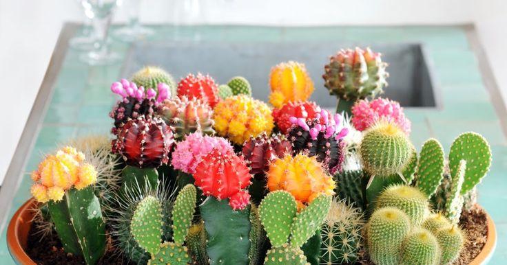 De cactus een saaie plant? Helemaal niet! En nog eens hartstikke makkelijk voor mensen die, zoals ik..., weleens vergeten hun plantjes wa...