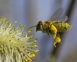 REQUISITOS PROTEICOS DE LAS DISTINTAS ETAPAS DE DESARROLLO. El polen es la fuente natural de proteínas de las abejas; y es utilizado dentro de la colmena fundamentalmente por las abejas nodrizas.