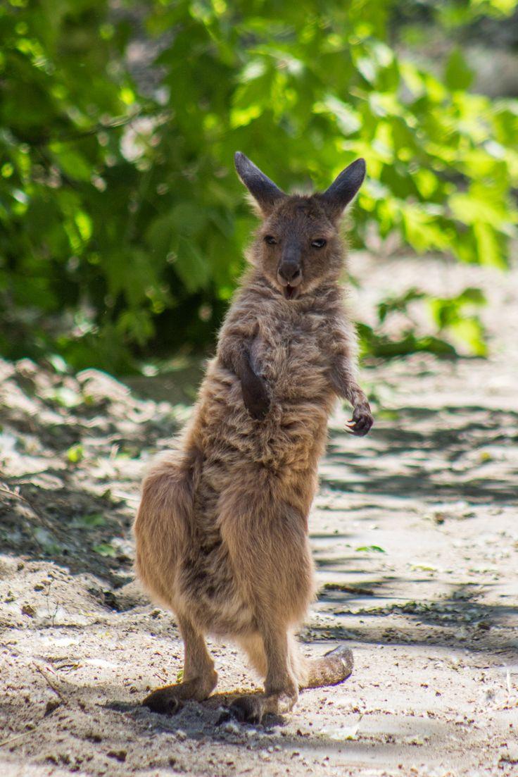 Szürke óriáskenguru kölyök. Western gray kangaroo baby.