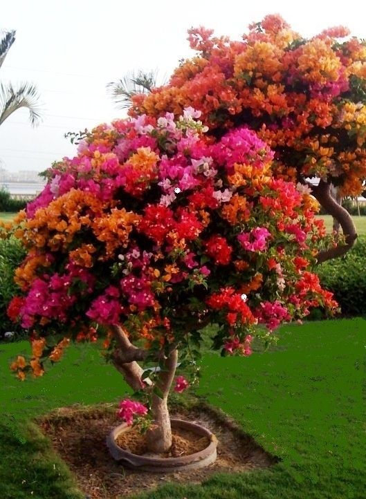 bougainvillea tree. They do well in hot, dry areas, like Texas, Florida, and Arizona.
