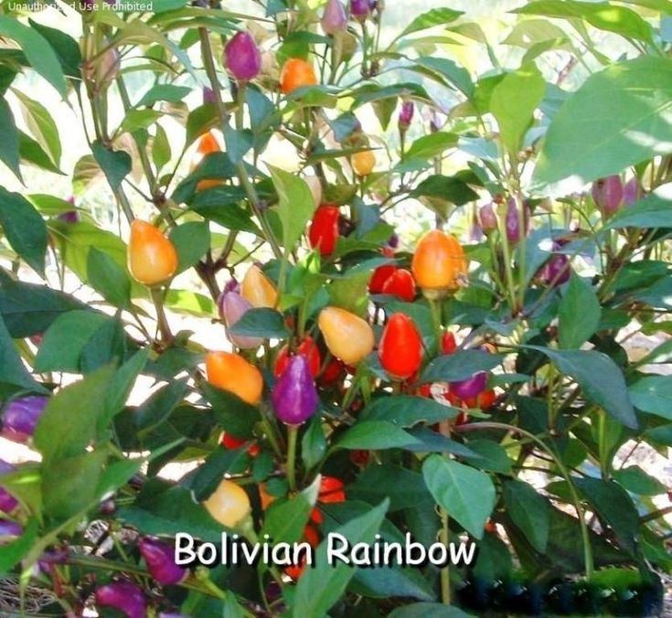 Bolivian Rainbow Chile Pepper Seeds, Capsicum annuum,Great for patio planter, Container , Garden bed.