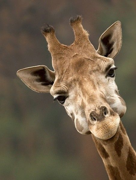 Giraffe with a full mouth. BelAfrique - Your Personal Travel Planner - www.belafrique.co.za