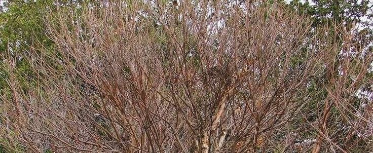 Betula nigra by nifty413