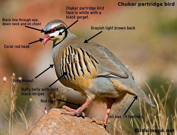 Chukar-partridge-bird-facts-image.jpg (789×605)