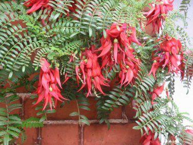 Rare Red Lobster Claw Kaka Beak Clianthus puniceus Rosea - 8 Seeds