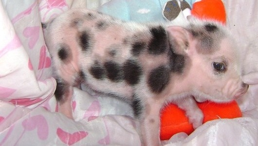 Spotted female mini pig, Yessica.: Fantastic Things, Little Pigs, Teas Cups Piglets, Minis Dog Qu, Teacup Piglets, Teacup Pigs, Minis Pigs, Teas Cups Pigs, Cutest Things Ever