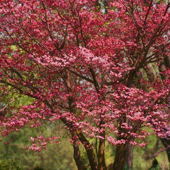 Rosy Red Blooms Add Stunning Color to The Landscape - The Cherokee Chief Dogwood is cold hardy to growing zone 5, where other dogwood varieties can't handle the cold. Large amounts of ice and snow don't bother Cherokee Chief Dogwoods and don't stop them from blooming. By being one of the first trees to bloom in spring,...