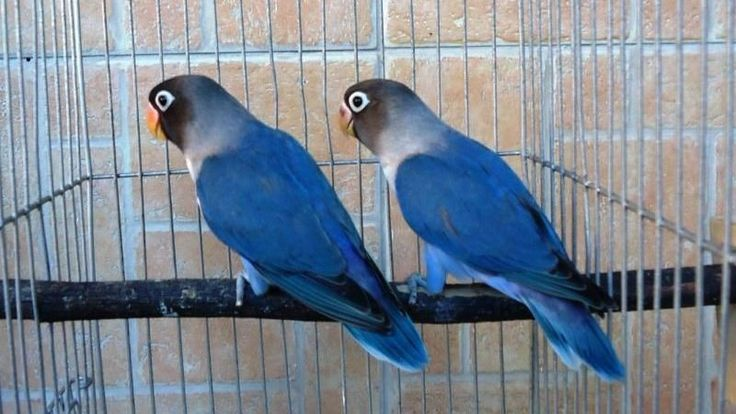 African Lovebirds - The Fact On African Lovebirds
