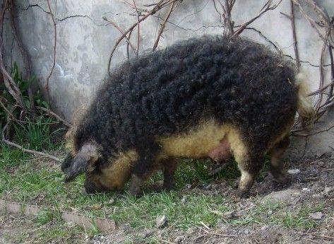 Порода свиней мангал была получена благодаря скрещиванию дикого кабана (родом с Западной Европы) с восточноевропейской мангалицей. По своему нраву свиньи мангал совсем неприхотливы – обычные домашние свиньи. Порода считается травоядной, относится к породам мясной направленности, схожая с украинской степной породой, северокавказской и литовской.